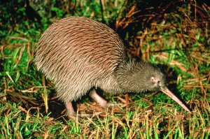 Kiwi - native to New Zeaalnd only