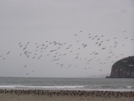 godwits coming in to roost beside the black and white oyster catchers