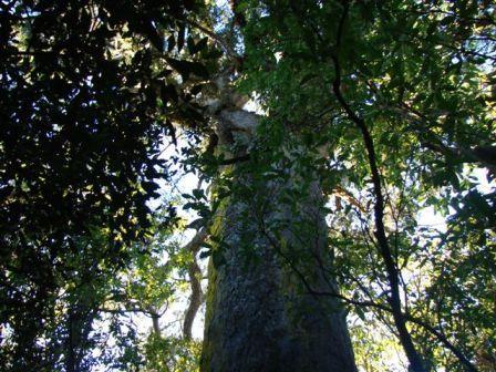 800-year old rimu tree