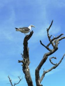 Black-backed gull on Matu Somes Island in Wellington Harbour