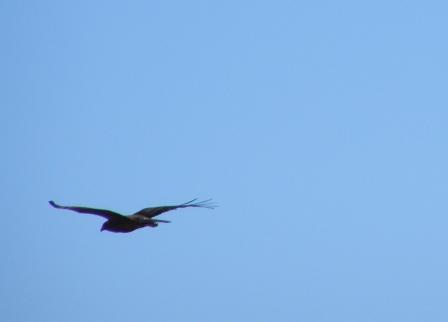 bird of prey P7252505