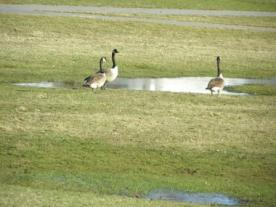 canada geese P7252504