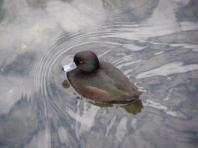 web scaup P8169540
