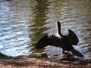 A shag dries its wings