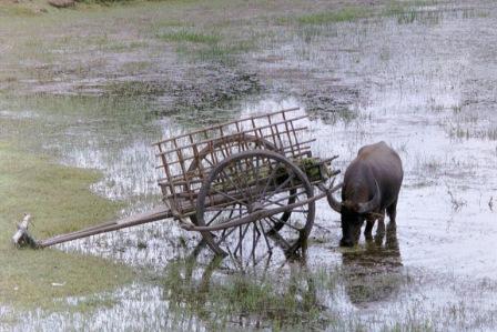 cambodia buffalo