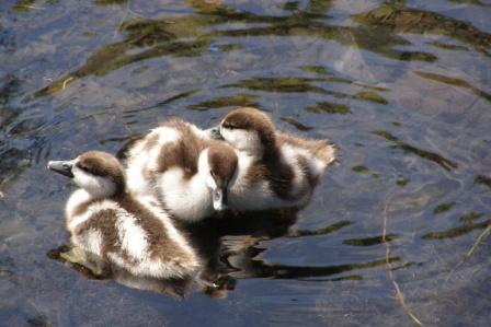 web paradise ducklings