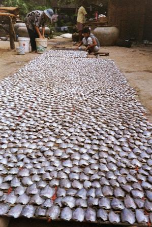 Perfect rows of drying fish