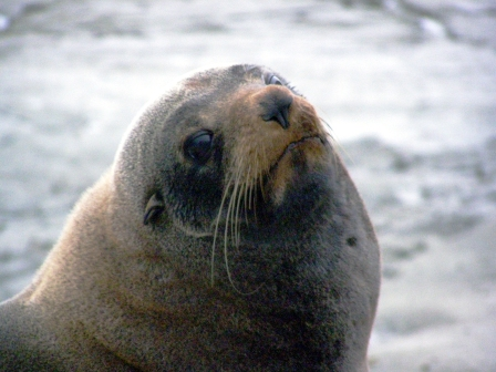 [Image: new-zealand-fur-seal-web.jpg]