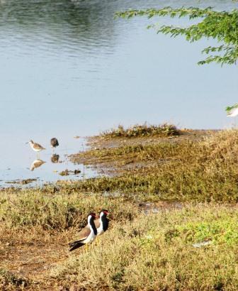 web india birds IMG_1108