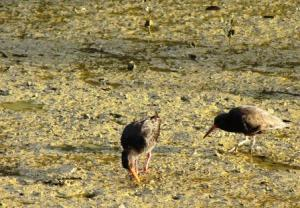 photo of oyster catcher birds