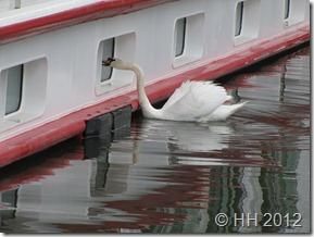 swan IMG_3822