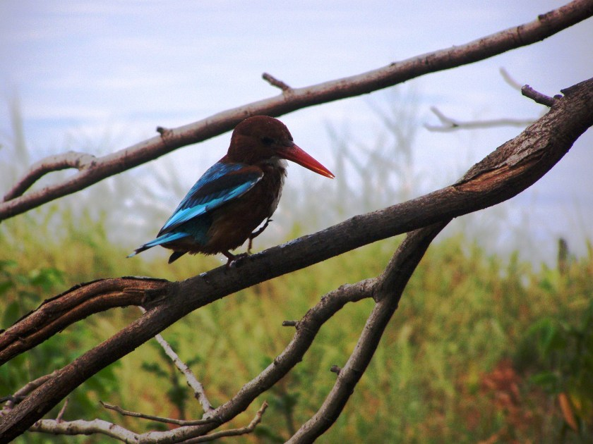 photos of kingfisher in India