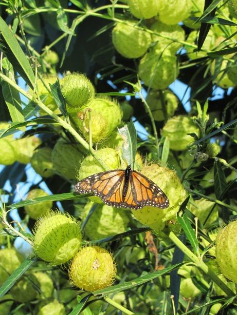 monach butterfly MG_8871
