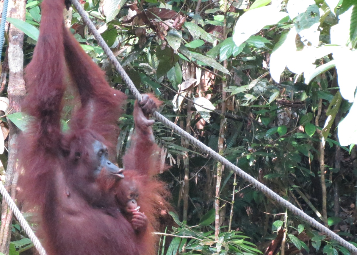 Borneo adventures: Orangutans