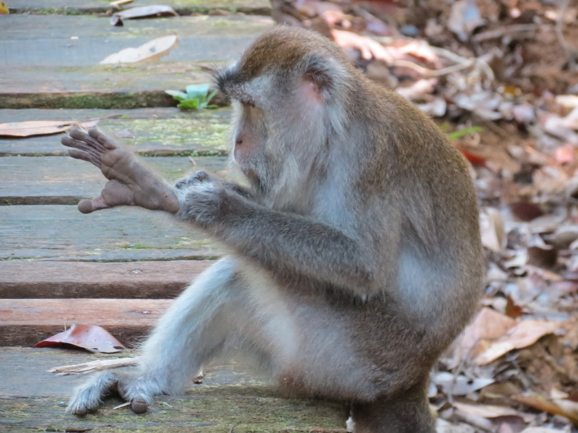 The naughty macaque!