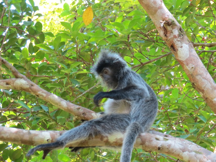 cute hairstyle on the silver-leaf monkey