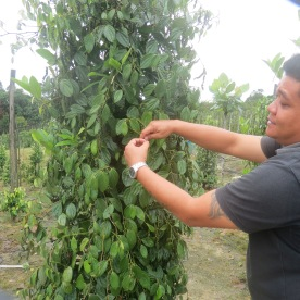 my guide shows the corns growing