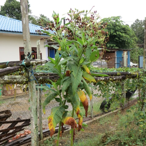 Tobacco is used as an eco-insecticide around the pepper vines