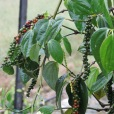 pepper corns growing on the vine