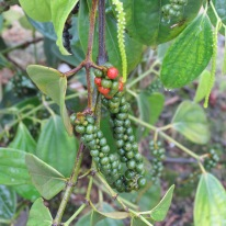 All pepper, black or white, comes from this vine