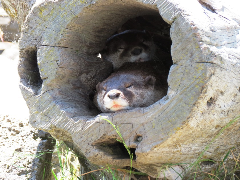 two sleepy otters