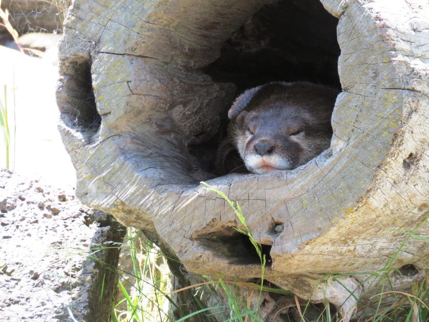 One sleepy otter