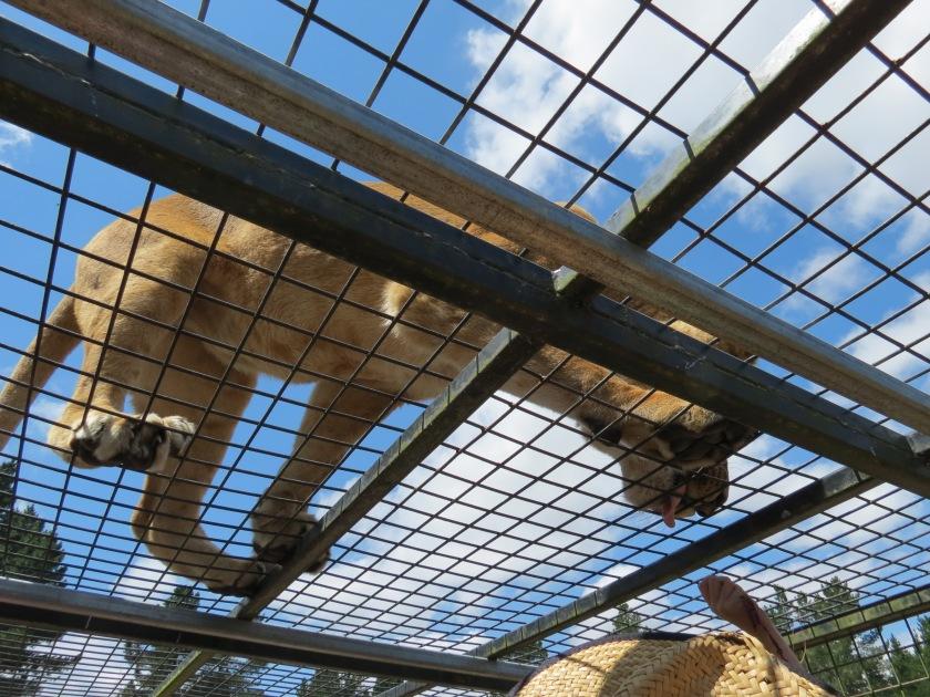 A lion wants food . Orana Wildlife Park. Christchurch New Zealand