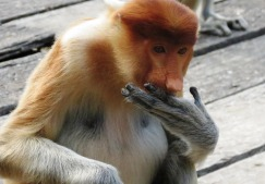proboscis monkey - more endangered than orangutan