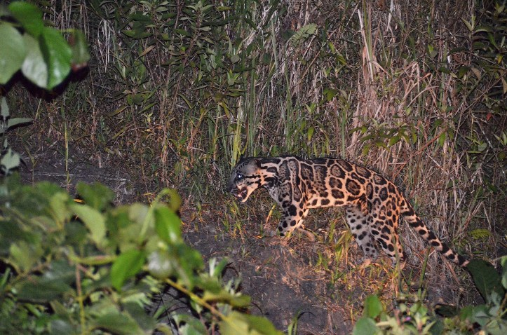 Clouded Leopard. photo by Cristian Morettin. August 2013