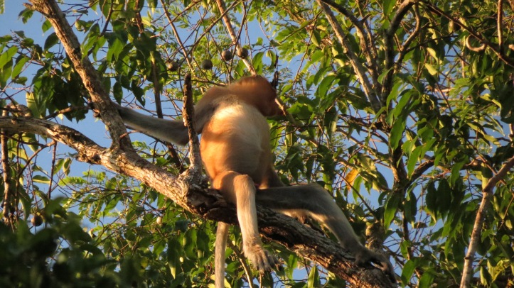 The clumsy and delightful Proboscis monkey (often called the Dutch Monkey because of the big nose and tummy!)