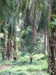 Oil plantation work is heavy work