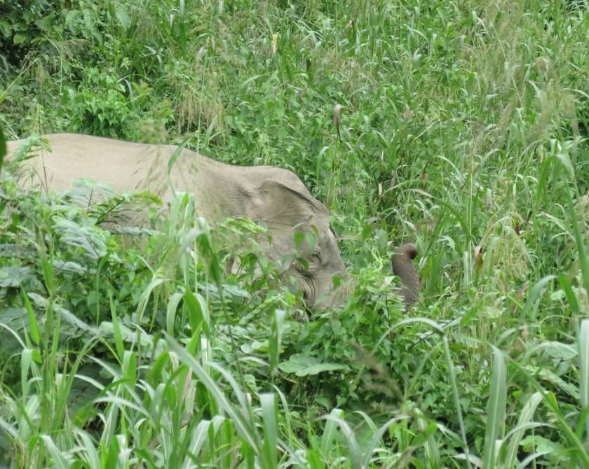 Bucket list ... return to Tabin Resort for better pygmy elephant photos