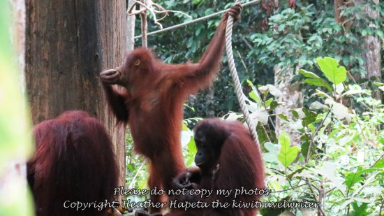watermarked-sepilok IMG_7326