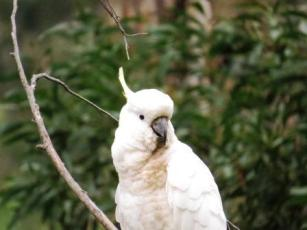 the noisy but pretty cockatoo