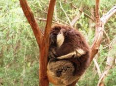 quintessential Australia - a koala