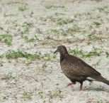 one of the many doves in Fiji