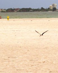flying low over the sand .. a problem with all the people I suspect