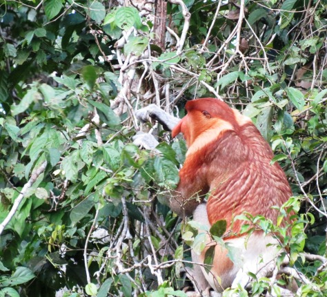Proboscis monkey: more endangered than orangutans!  I hope one day people will see  one in the trees I've planted