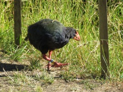 Takahe ...one of only about 250 in the world