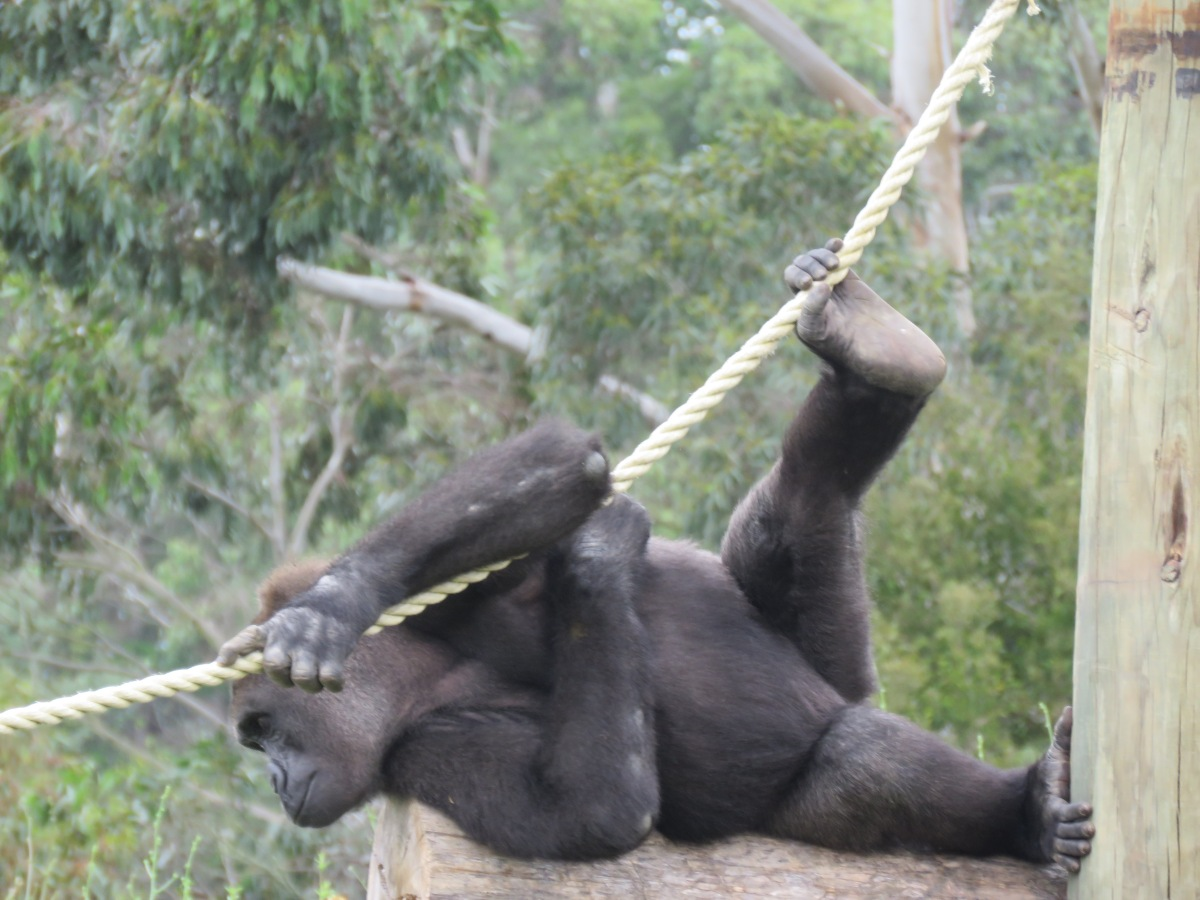 Bachelor Boys at Orana Park. The world's largest primates, gorillas