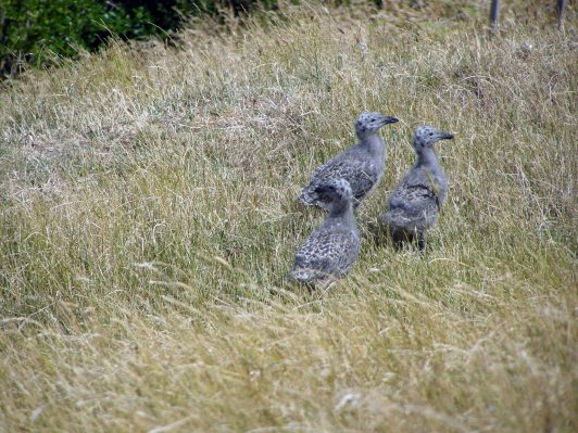 Black backed gull chicks
