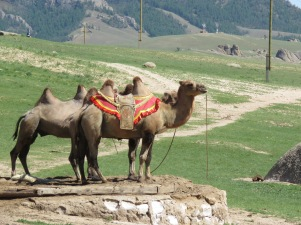 the two-humped camel of Mongolia
