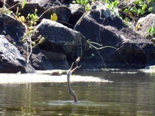 Darter enjoying its catch