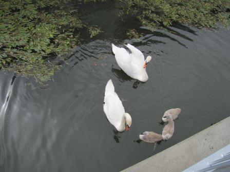 Swans on an European river