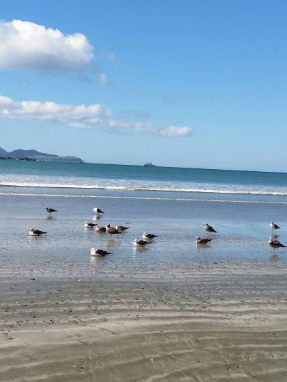 mostly black backed gulls
