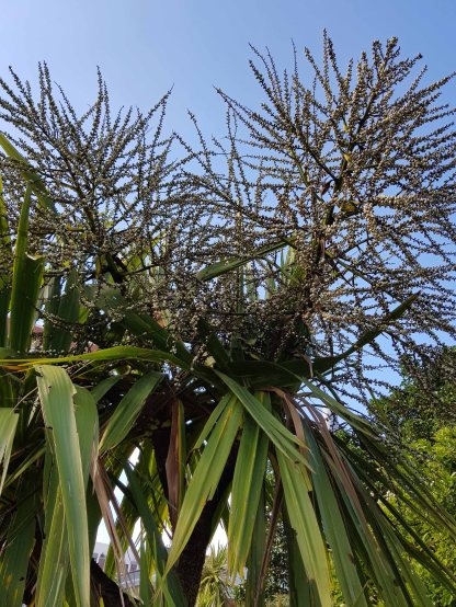 Ti Kouka or 'cabbage tree'