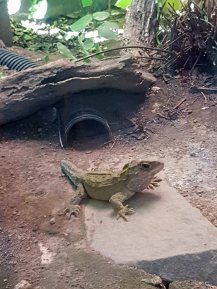 tuatara thru dirty window!