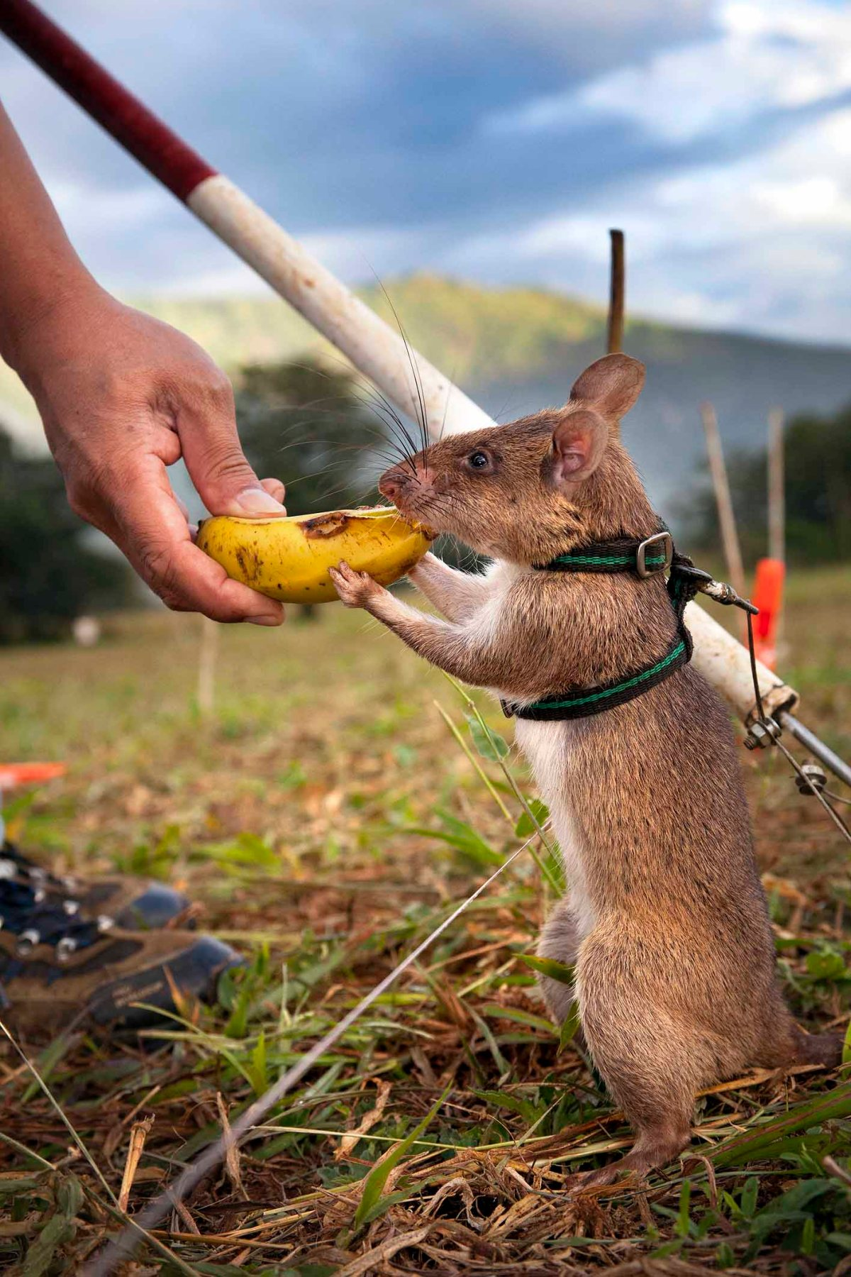 The year of the rat? Meet the HeroRAT